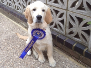 Rosie Retriever with Rosette 1